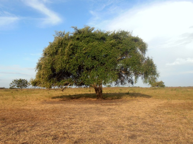 Bekol, Baluran, Pohon Jomblo