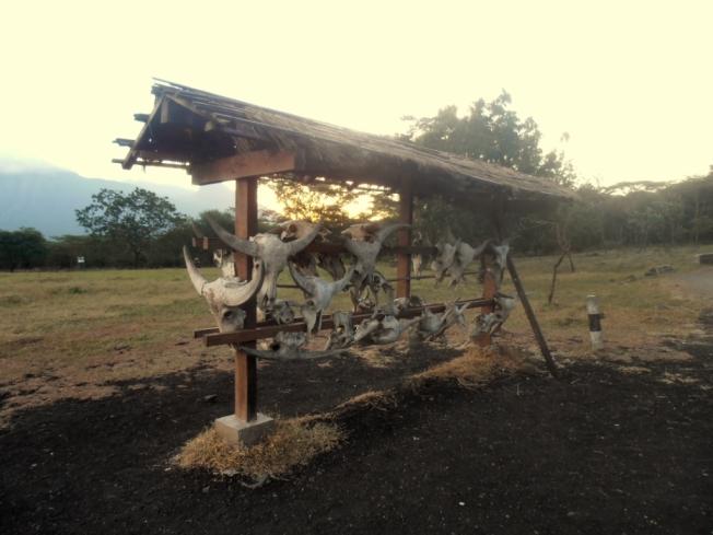 Buffalos' skulls?